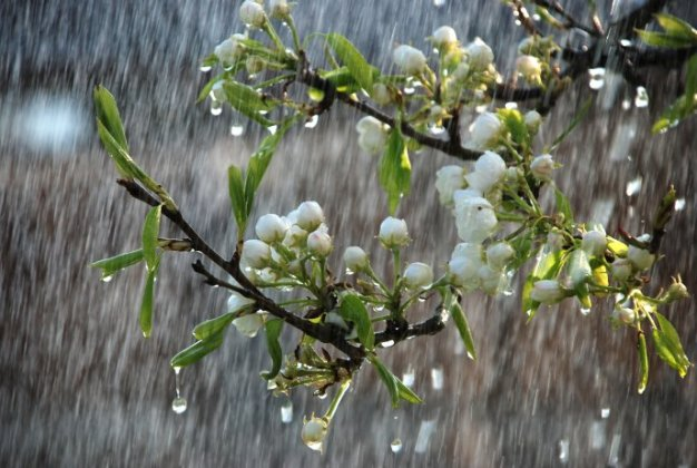 6891_Beautiful-rainy-spring-day-trees-in-bloom