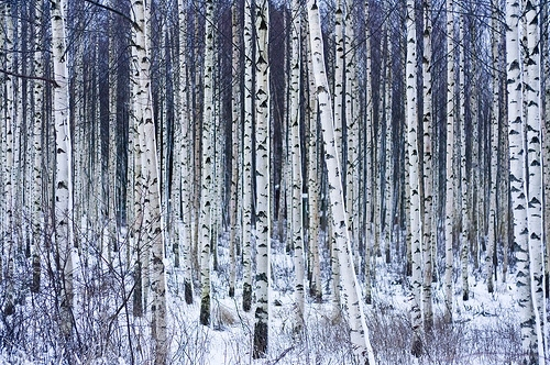 birch-forest-snow-trees-white-winter-Favim.com-83470