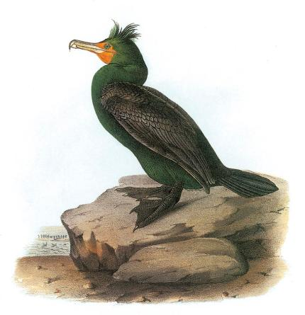 double-crested-cormorant-john-james-audubon