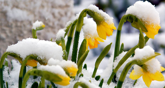 daffodils-in-snow-for-web