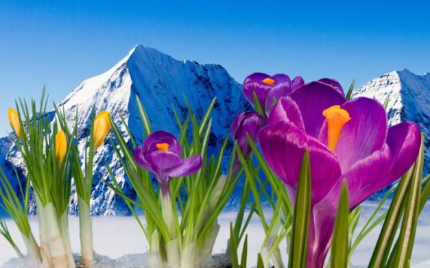 spring-crocus-mountain-snow-1905